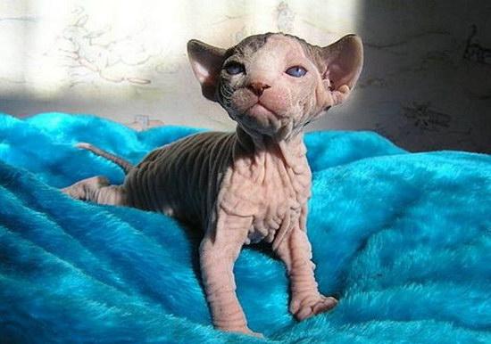 Фотографии животных :: Котята сфинксов фото 3.