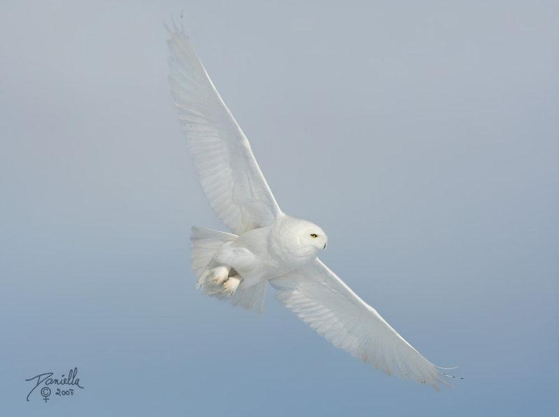 Полярная сова :: фотография 2
