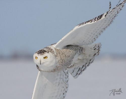 Красивый почти белый сыч.  Грозная птичка.