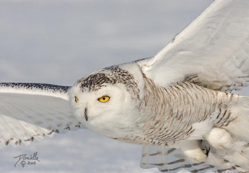 basik.ru - Животный мир - Полярная сова - фотография 2.