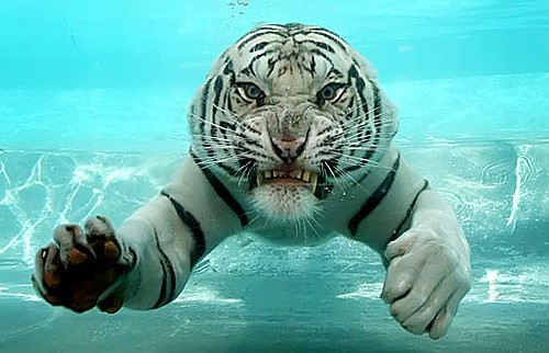 http://basik.ru/images/swimming_tiger/short.jpg