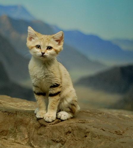 Песочная Кошка – Фялиса Маргарита фото 0
