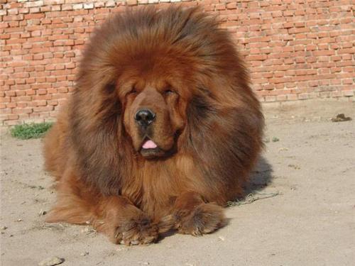 Тибетский мастиф фото 6