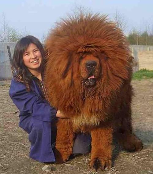 Тибетский мастиф фото 10