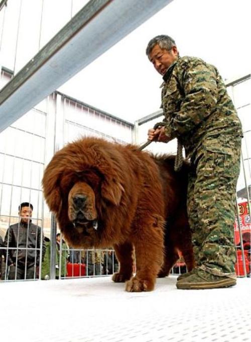 Тибетский мастиф фото 11