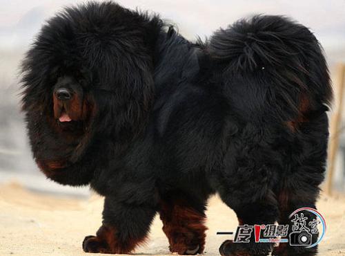 Тибетский мастиф фото 12