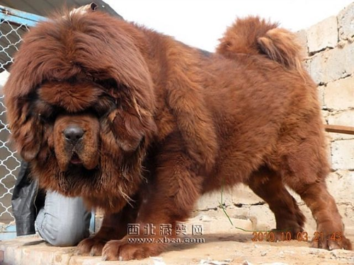 Тибетский мастиф фото 19