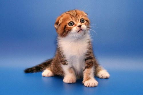 фото британских длинношерстных чёрных котят #6