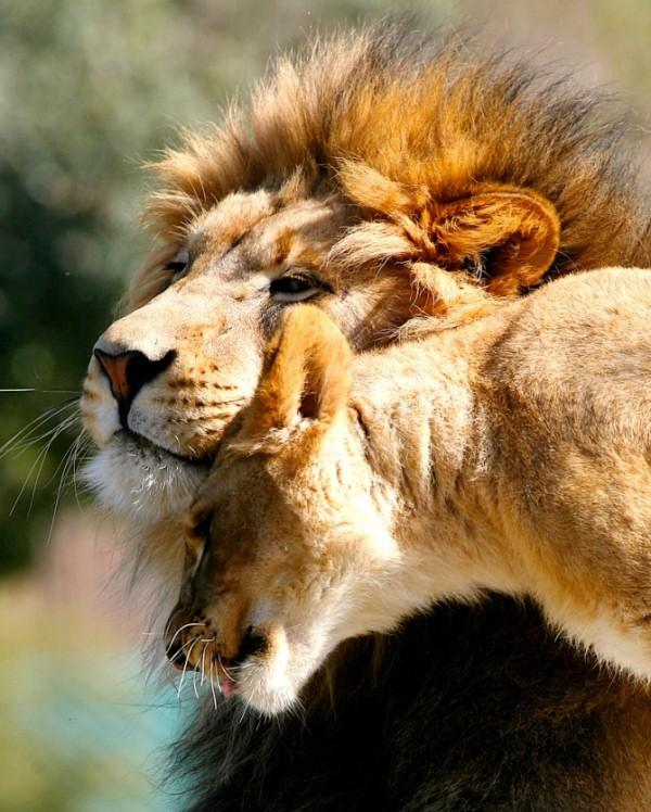 Губка, картинки льва и львицы с надписями