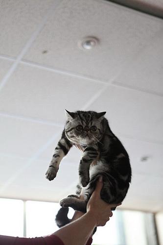 Первый раз в жизни прикоснулся к сфинксу - ощущения непередаваемые.  фото. Выставка кошек фото 33. цены отдо кошки мэйкун. Мэйкун кошка.