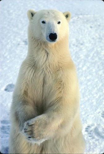 Чарь Ледовитого океана.  Он же белый полярный медведь.  Краткое досье: в высоту полтора метра, в длину...