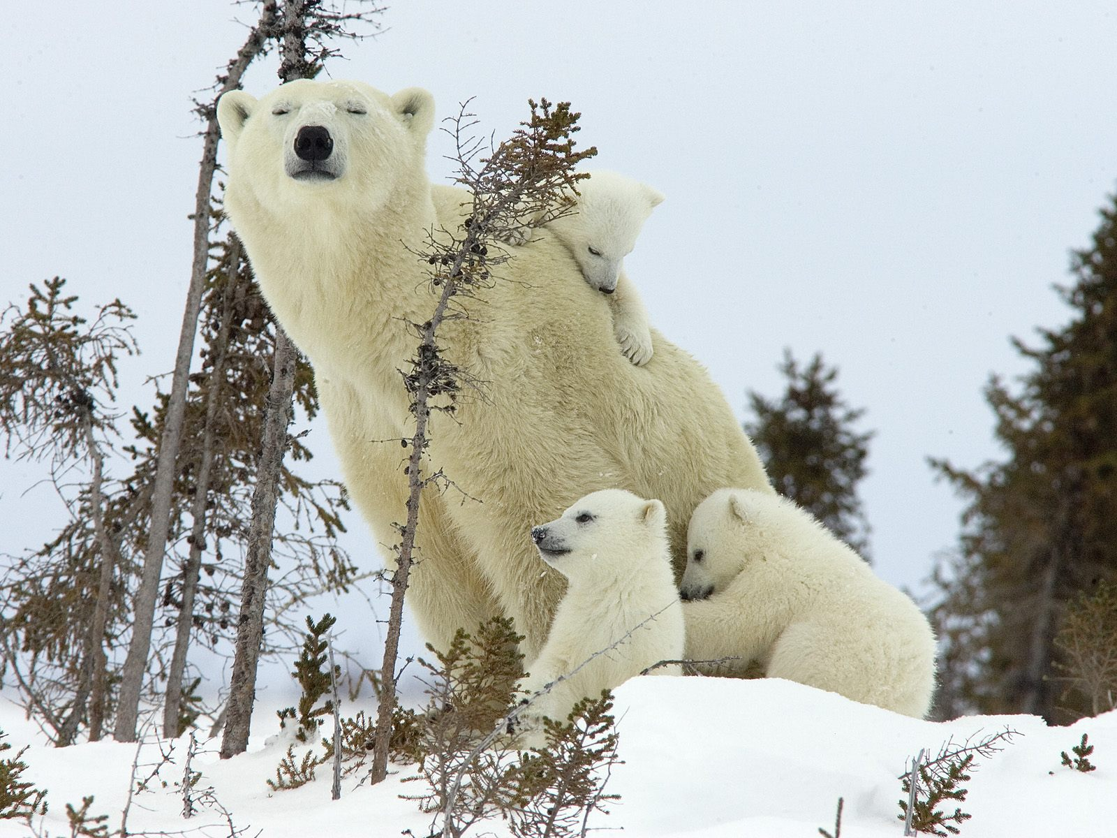 Картинки с белым медведем на рабочий стол, люблю скучаю