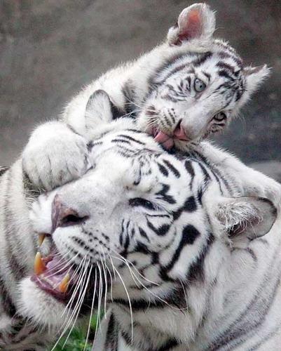 http://basik.ru/images/white_tigers_babies/short.jpg