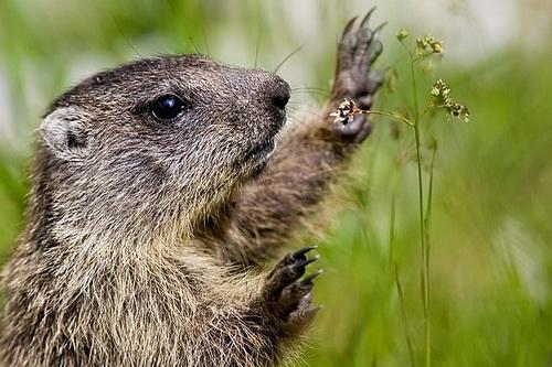 Marmotte animal