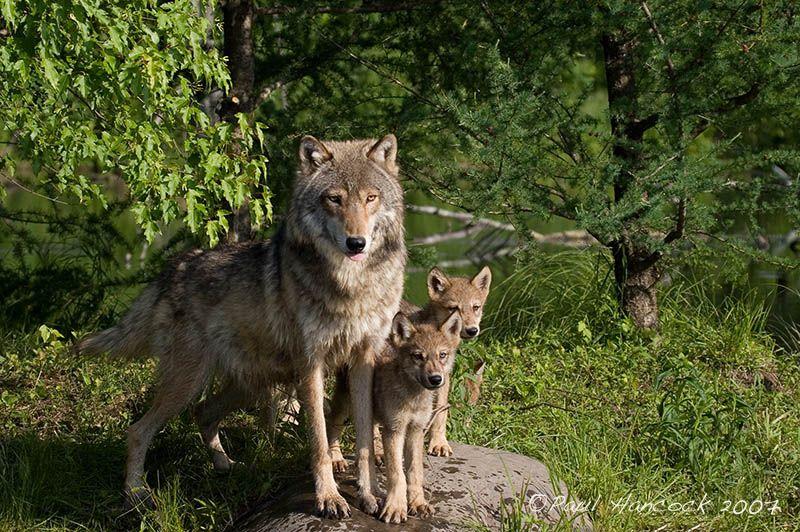 Модные картинки волки настоящий момент