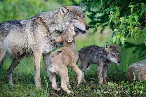 Животный мир, Волки с волчатами, wolf, Дети, , basik.ru